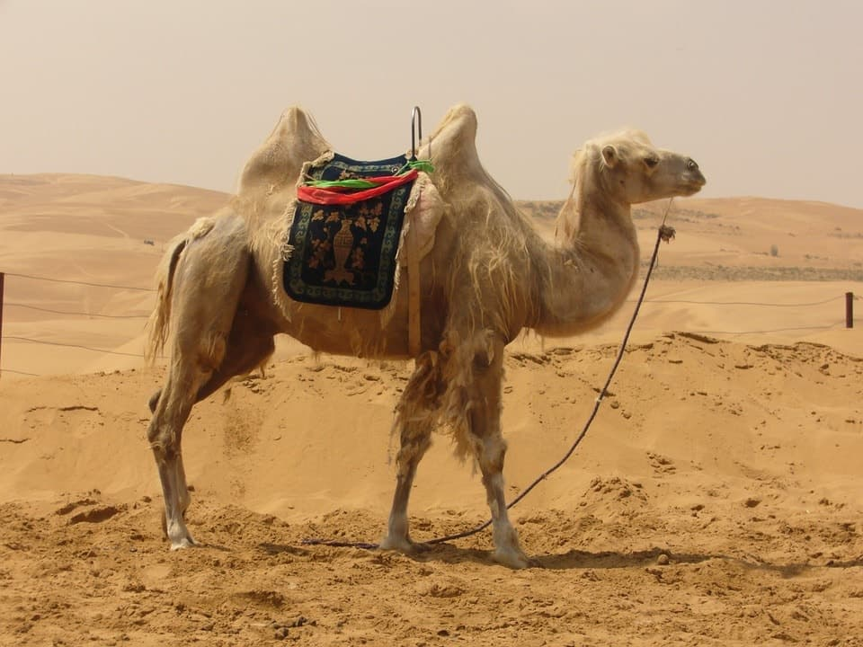 Traveling by Camel